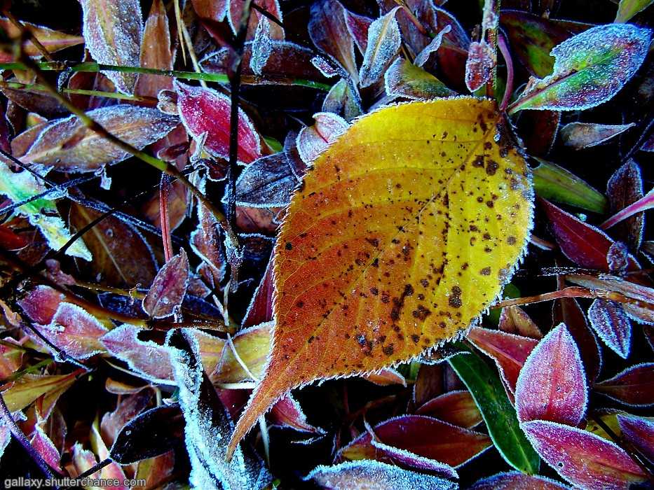 photoblog image A `confection` of frosted leaves